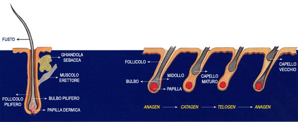 fasi-crescita-capelli