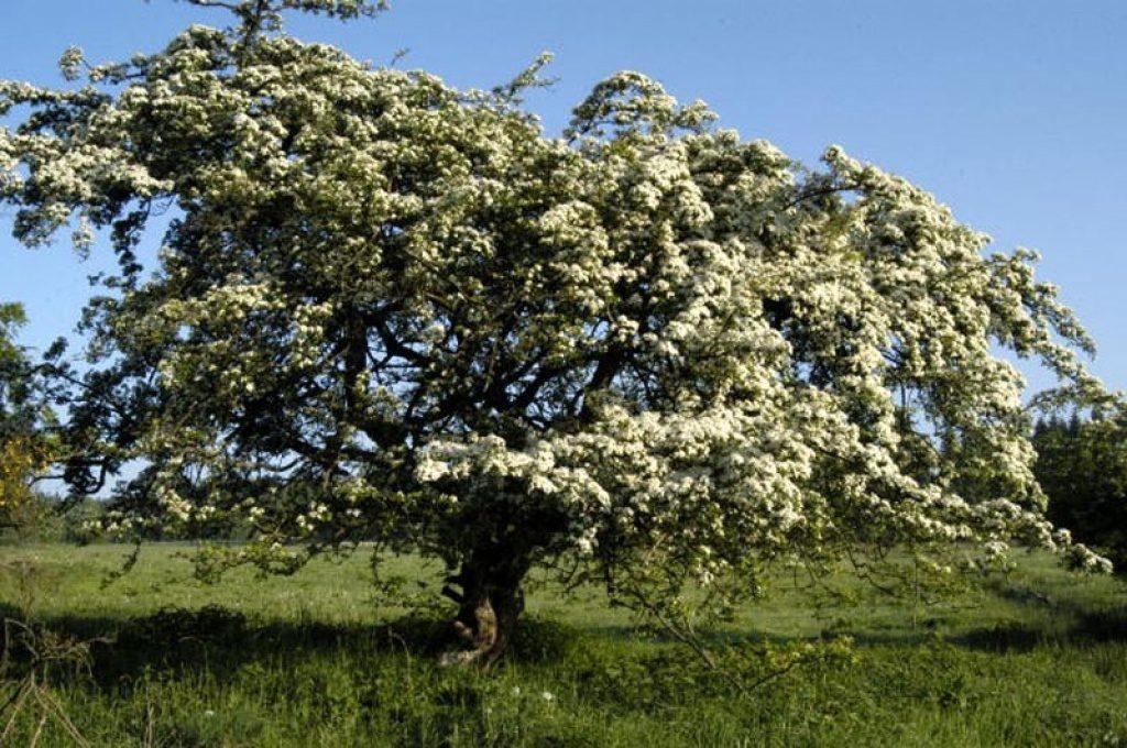 albero biancospino