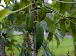 babaco-proprietà-frutto
