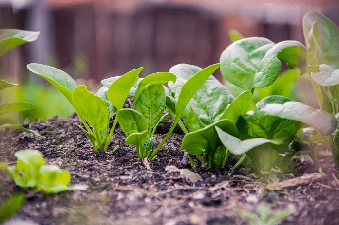 spinaci proprietà e benefici