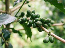 caffe-verde-per-dimagrire-funziona-davvero